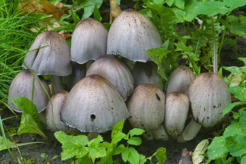 "Common inkcap (inky cap) mushrooms <B>Coprinopsis atramentaria</B> in Botanic Gardens of Komarov Botanical Institute. Saint Petersburg, Russia, <A HREF=""../date-ru/2016-09-24.htm"">September 24, 2016</A>"