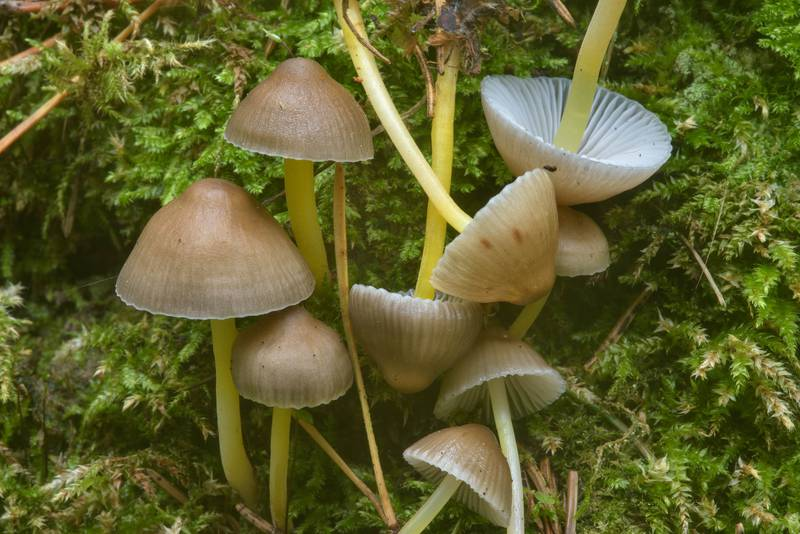 "Yellowleg bonnet mushrooms <B>Mycena epipterygia</B>(?) in area of New Sylvia in Pavlovsk Park. Pavlovsk, a suburb of Saint Petersburg, Russia, <A HREF=""../date-ru/2016-09-26.htm"">September 26, 2016</A>"