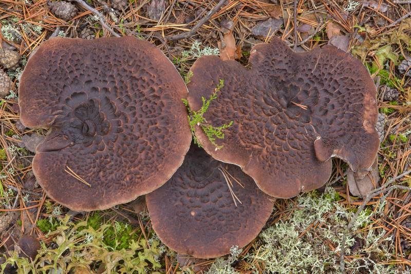 "Old Scaly Tooth fungus (<B>Sarcodon squamosus</B> mushrooms) between Orekhovo and Lembolovo, north from Saint Petersburg. Russia, <A HREF=""../date-en/2016-09-28.htm"">September 28, 2016</A>"