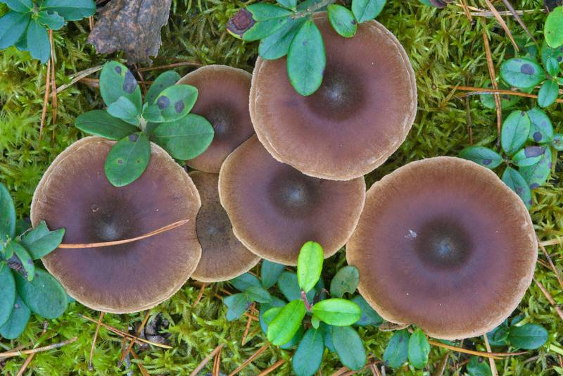 "Brown webcap mushrooms (<B>Cortinarius depressus</B>)(?) between Orekhovo and Lembolovo, north from Saint Petersburg. Russia, <A HREF=""../date-en/2016-09-28.htm"">September 28, 2016</A>"