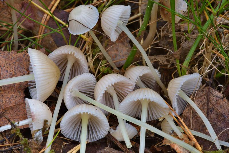 "Yellow stem bonnet mushrooms (<B>Mycena epipterygia</B>)(?) between Orekhovo and Lembolovo, north from Saint Petersburg. Russia, <A HREF=""../date-ru/2016-09-28.htm"">September 28, 2016</A>"