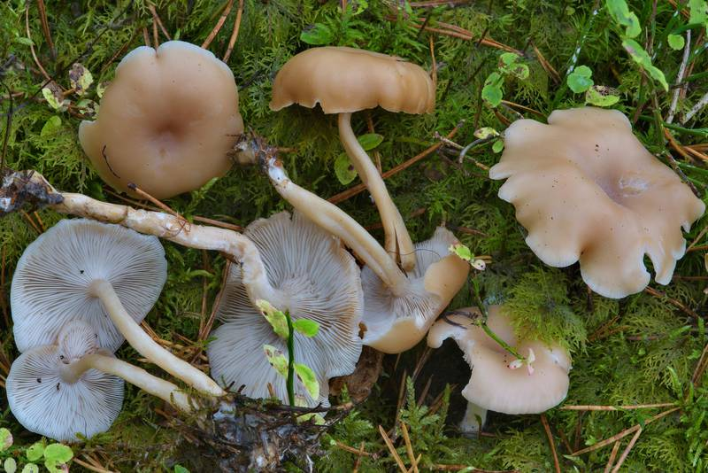 "Whitish funnel mushrooms (<B>Clitocybe fragrans</B>)(?) between Orekhovo and Lembolovo, north from Saint Petersburg. Russia, <A HREF=""../date-en/2016-09-28.htm"">September 28, 2016</A>"