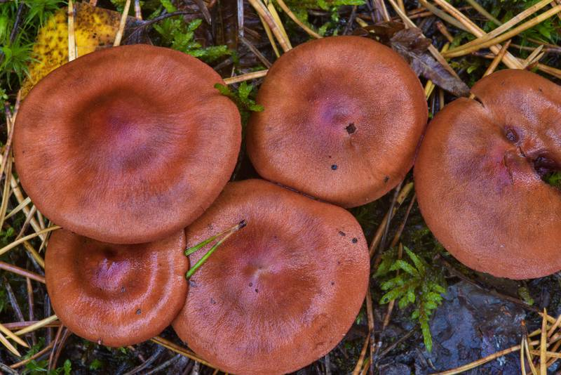 "Surprise webcap mushrooms (<B>Cortinarius semisanguineus</B>) near Pervomayskoe, Vyborg Region. Russia, <A HREF=""../date-en/2016-09-30.htm"">September 30, 2016</A>"