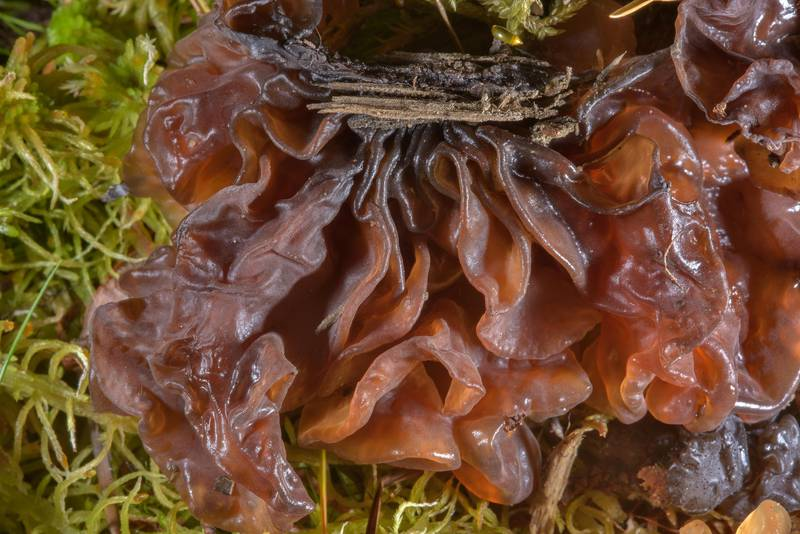 "<B>Phaeotremella foliacea</B> (Tremella foliacea) jelly fungus on mushroom show in Botanic Gardens of Komarov Botanical Institute. Saint Petersburg, Russia, <A HREF=""../date-en/2016-10-01.htm"">October 1, 2016</A>"