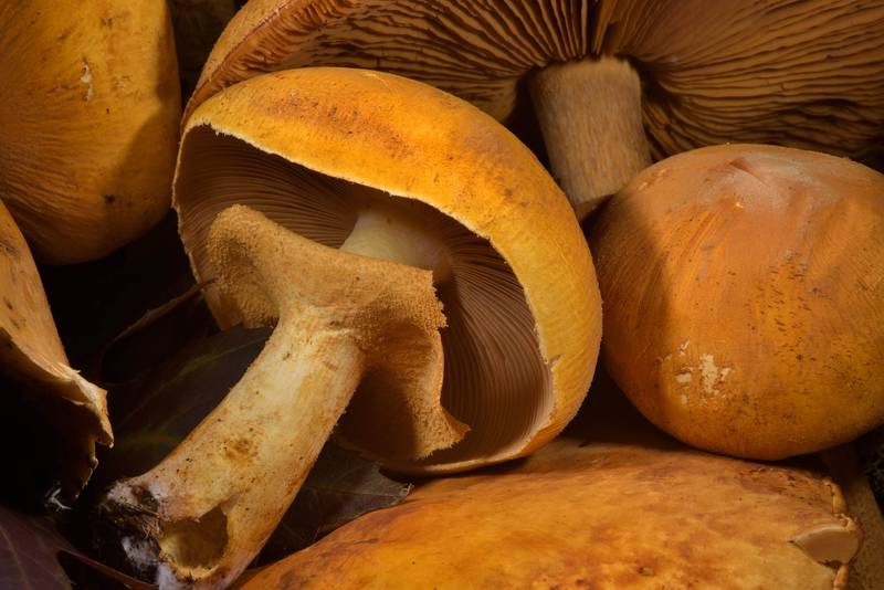 "Golden bootleg mushrooms (<B>Phaeolepiota aurea</B>) on mushroom show in Botanic Gardens of Komarov Botanical Institute. Saint Petersburg, Russia, <A HREF=""../date-ru/2016-10-01.htm"">October 1, 2016</A>"