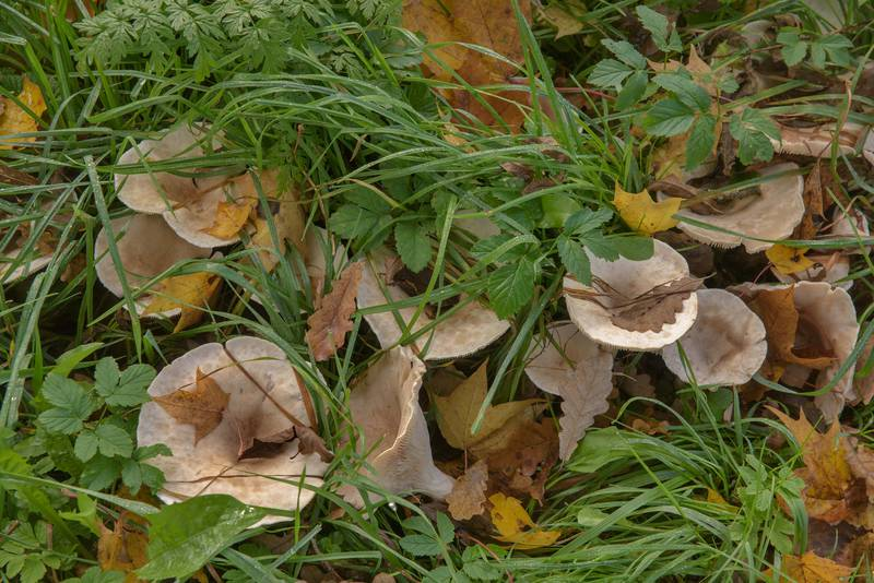 "Trooping funnel mushrooms (Monk's head, <B>Infundibulicybe geotropa</B>, Clitocybe geotropa) or may be Clitocybe maxima in Alexander Park. Pushkin (former Tsarskoe Selo), south from Saint Petersburg, Russia, <A HREF=""../date-en/2016-10-03.htm"">October 3, 2016</A>"