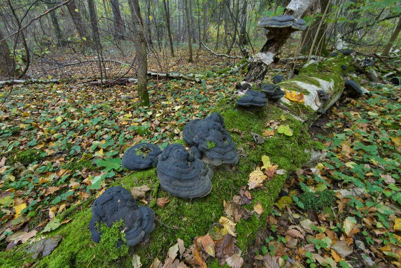 "Rotten blackened tinder polypore mushrooms (bracket fungus, <B>Fomes fomentarius</B>) on a birch log in Lisiy Nos, west from Saint Petersburg. Russia, <A HREF=""../date-ru/2016-10-09.htm"">October 9, 2016</A>"