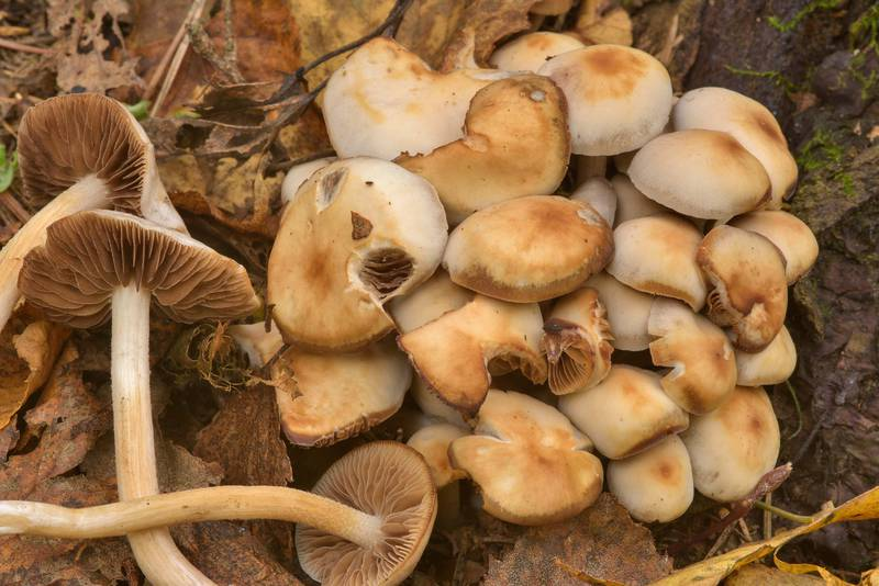 "Chestnut brittlestem mushrooms (<B>Homophron spadiceum</B>, Psathyrella spadicea) in Lomonosov (Oranienbaum). West from Saint Petersburg, Russia, <A HREF=""../date-ru/2016-10-11.htm"">October 11, 2016</A>"