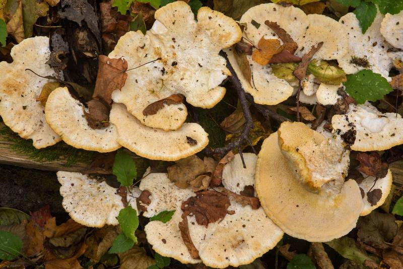 "Poroid fungus (mushroom) <B>Climacocystis borealis</B>(?) in Lomonosov (Oranienbaum). West from Saint Petersburg, Russia, <A HREF=""../date-en/2016-10-11.htm"">October 11, 2016</A>"