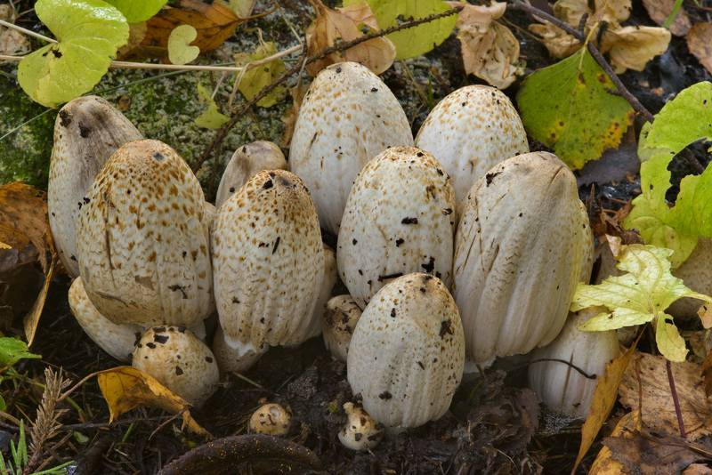 "Cluster of inkcap (inky cap) mushrooms <B>Coprinopsis romagnesiana</B>(?) in Pavlovsk Park. Pavlovsk, a suburb of Saint Petersburg, Russia, <A HREF=""../date-en/2016-10-14.htm"">October 14, 2016</A>"
