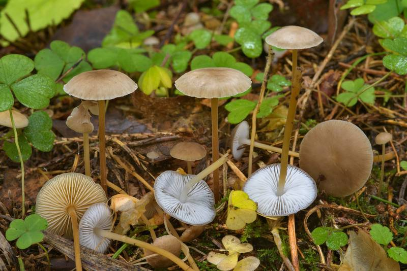 "Sprucecone cap mushrooms (<B>Strobilurus esculentus</B>) among wood sorrel in Posiolok near Vyritsa, south from Saint Petersburg, Russia, <A HREF=""../date-ru/2016-10-16.htm"">October 16, 2016</A>"