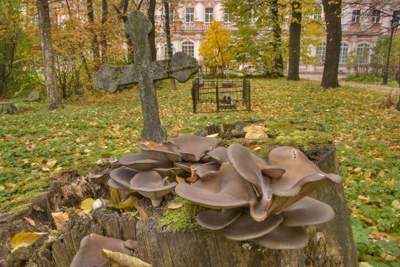 Oyster mushrooms (Pleurotus ostreatus) in Communist section of Alexander Nevsky Lavra. Saint Petersburg, Russia, October 18, 2016