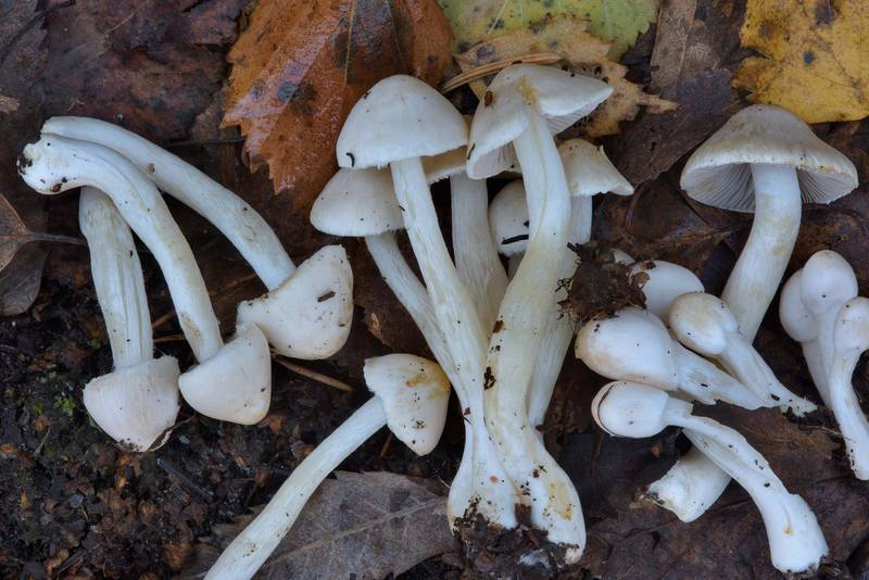 "Earth fibrecap mushrooms (<B>Inocybe geophylla</B>) near Lisiy Nos, west from Saint Petersburg. Russia, <A HREF=""../date-en/2016-10-19.htm"">October 19, 2016</A>"