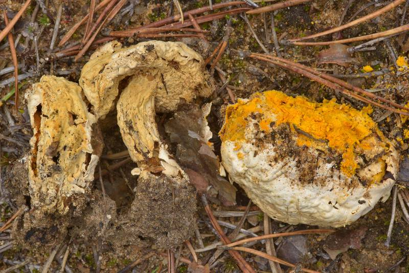 "Bolete eater (golden yellow parasitic ascomycete fungus <B>Hypomyces chrysospermus</B>, or Apiocrea chrysosperma that grows on bolete mushrooms) near Orekhovo, north from Saint Petersburg, Russia, <A HREF=""../date-en/2016-10-22.htm"">October 22, 2016</A>"