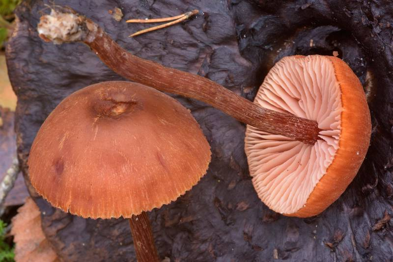 "Scurfy deceiver mushrooms (<B>Laccaria proxima</B>) near Orekhovo, north from Saint Petersburg, Russia, <A HREF=""../date-ru/2016-10-22.htm"">October 22, 2016</A>"