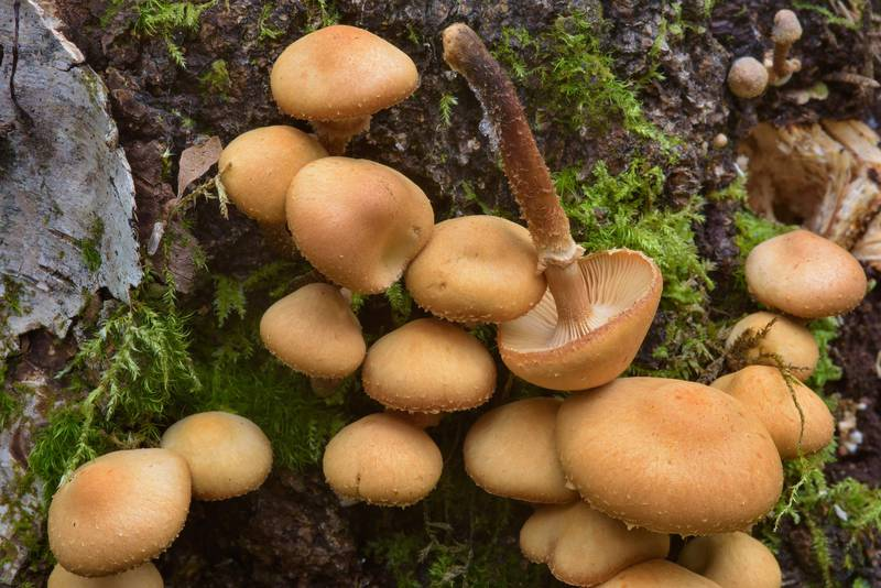 "Sheathed Woodtuft mushrooms (<B>Kuehneromyces mutabilis</B>, Pholiota mutabilis) near Orekhovo, north from Saint Petersburg, Russia, <A HREF=""../date-en/2016-10-22.htm"">October 22, 2016</A>"