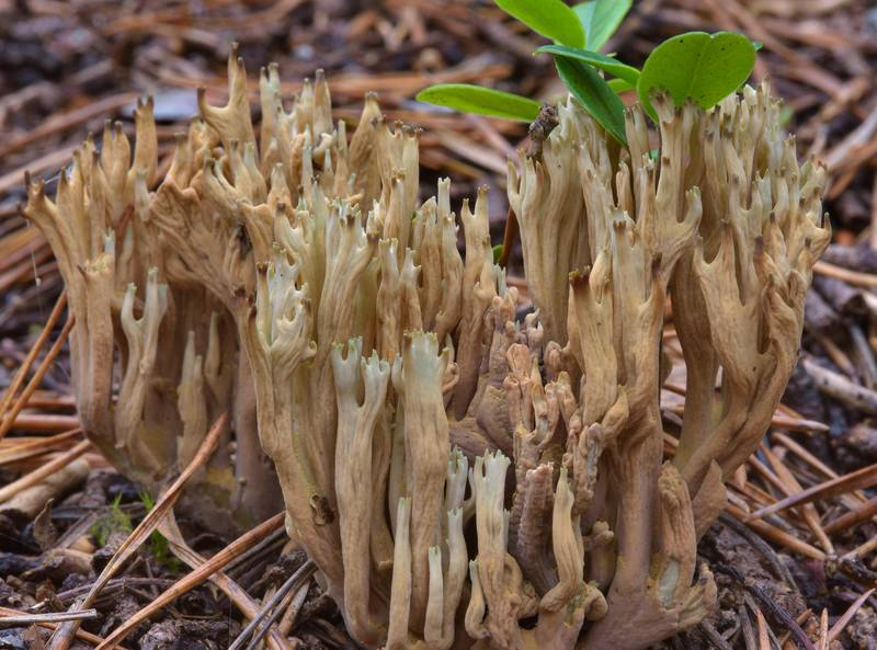 "Green-staining coral <B>Phaeoclavulina abietina</B> (Ramaria abietina)(?) near Orekhovo, north from Saint Petersburg, Russia, <A HREF=""../date-ru/2016-10-22.htm"">October 22, 2016</A>"