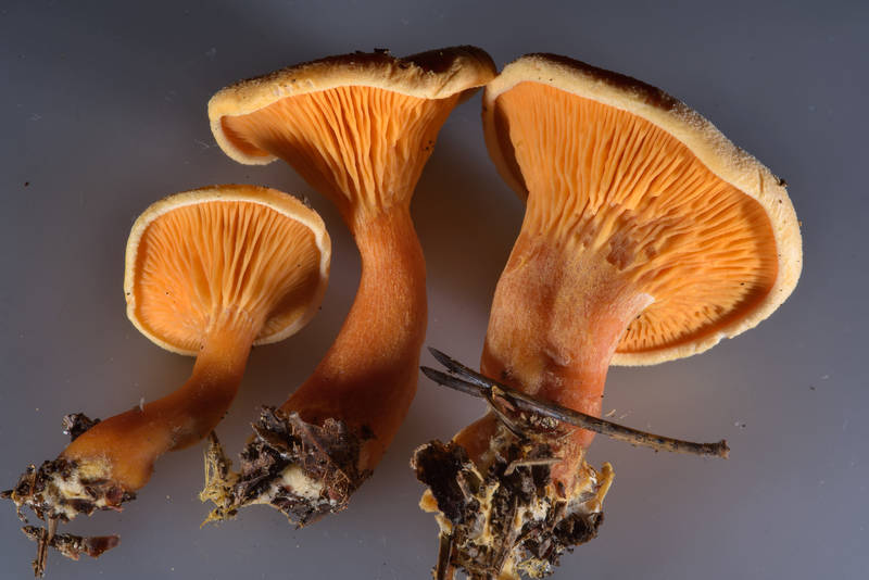 "False chanterelle mushrooms (<B>Hygrophoropsis aurantiaca</B>) taken from an ant hill near Orekhovo, north from Saint Petersburg, Russia, <A HREF=""../date-en/2016-10-22.htm"">October 22, 2016</A>"