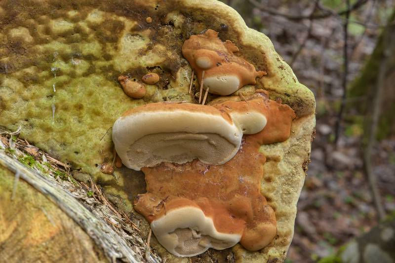 "Tinder polypore mushroom (bracket fungus, <B>Fomes fomentarius</B>) changing direction of growth after the log was turned in Dibuny, north-west from Saint Petersburg, Russia, <A HREF=""../date-ru/2016-10-23.htm"">October 23, 2016</A>"