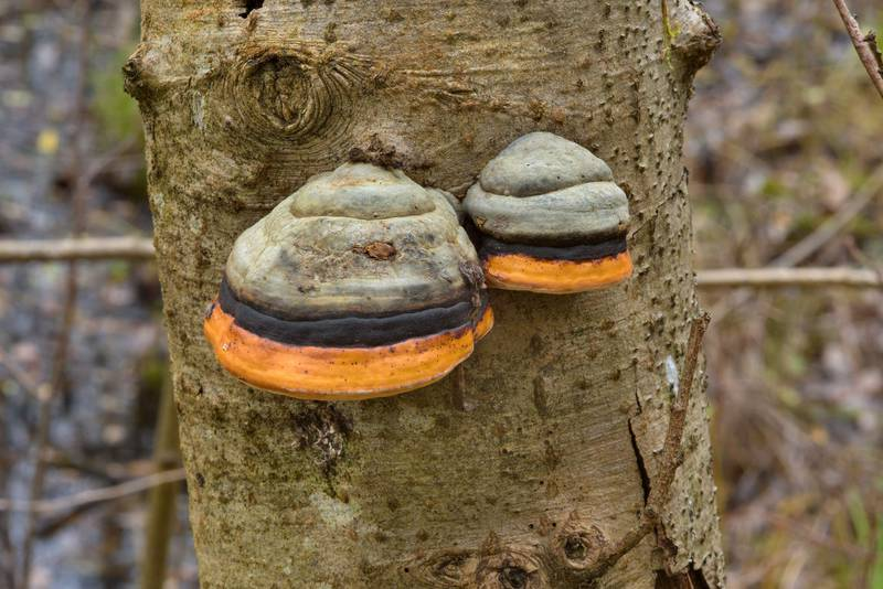 Red-Belt Conk (polypore mushroom Fomitopsis pinicola) in Dibuny, north-west from Saint Petersburg, Russia, October 23, 2016