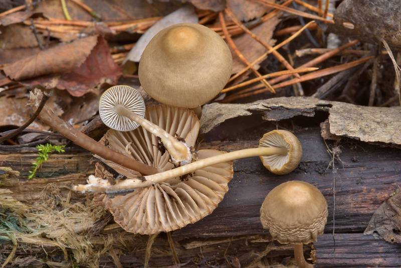 "Common bonnet mushrooms (<B>Mycena galericulata</B>)(?) on a rotten branch in Dibuny, north-west from Saint Petersburg, Russia, <A HREF=""../date-ru/2016-10-23.htm"">October 23, 2016</A>"