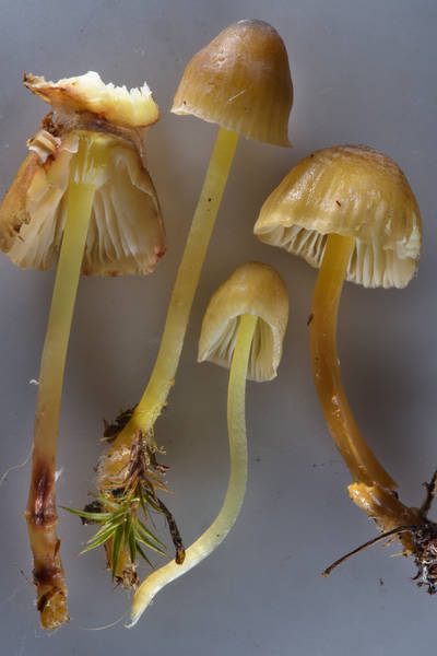 "Yellowleg bonnet mushrooms (<B>Mycena epipterygia</B>) taken from Sosnovka Park. Saint Petersburg, Russia, <A HREF=""../date-ru/2016-10-24.htm"">October 24, 2016</A>"