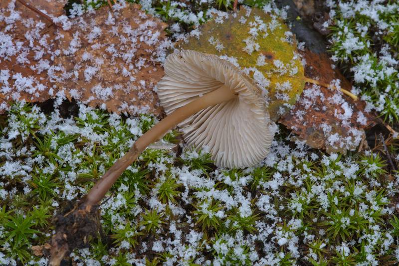 Common bonnet mushroom (Mycena galericulata) in swampy area in Sosnovka Park. Saint Petersburg, Russia, October 31, 2016