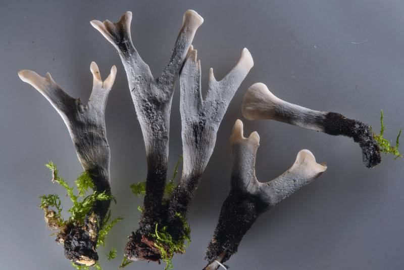 "Candlesnuff fungus (stag's horn, carbon antlers mushrooms, <B>Xylaria hypoxylon</B>) taken from Sosnovka Park. Saint Petersburg, Russia, <A HREF=""../date-ru/2016-10-31.htm"">October 31, 2016</A>"