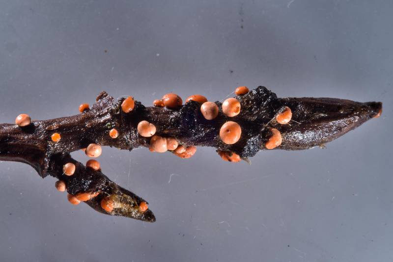 "Coral spot fungus (<B>Nectria cinnabarina</B> mushrooms) on a twig taken from Sosnovka Park. Saint Petersburg, Russia, <A HREF=""../date-ru/2016-12-31.htm"">December 31, 2016</A>"
