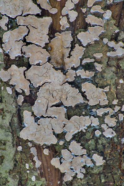 "Bleeding Broadleaf Crust fungus (<B>Stereum rugosum</B> mushrooms) on a tree in Sosnovka Park. Saint Petersburg, Russia, <A HREF=""../date-ru/2017-02-03.htm"">February 3, 2017</A>"