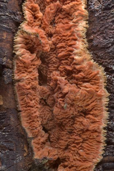 Texture of wrinkled crust fungus (Phlebia radiata mushroom) on a mountain ash tree in Sosnovka Park. Saint Petersburg, Russia, February 17, 2017