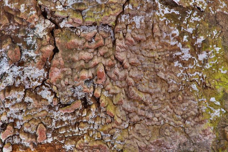 "Crust of <B>Phellinidium ferrugineofuscum</B> mushrooms on a spruce near Lisiy Nos, west from Saint Petersburg. Russia, <A HREF=""../date-ru/2017-02-18.htm"">February 18, 2017</A>"