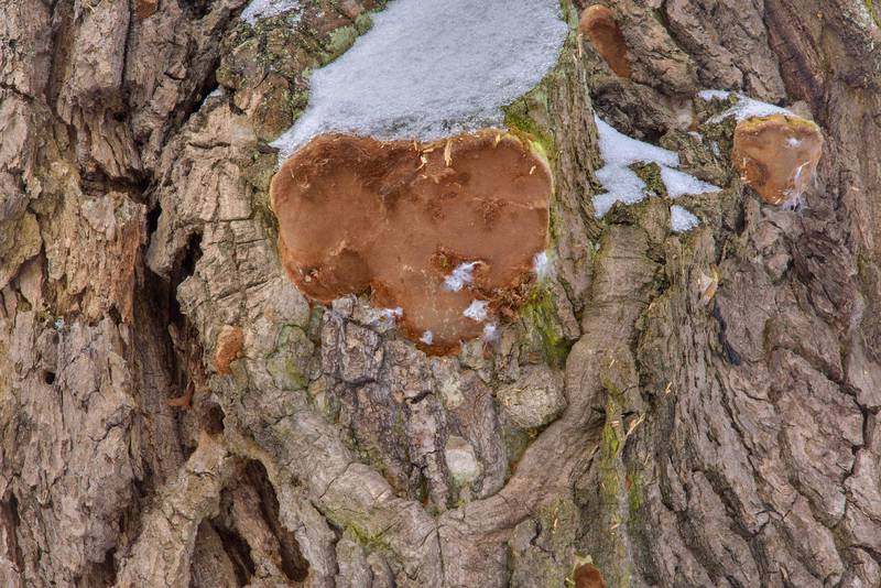 Robust bracket mushrooms (Fomitiporia robusta, Phellinus robustus) growing from a place of a cut branch of an oak near Lisiy Nos, south from Saint Petersburg. Russia, February 18, 2017