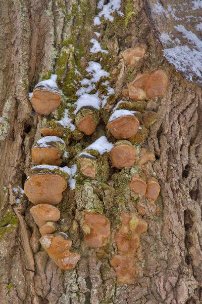 Cluster of robust bracket mushrooms (Fomitiporia robusta, Phellinus robustus) on an oak near Lisiy Nos, south from Saint Petersburg. Russia, February 18, 2017