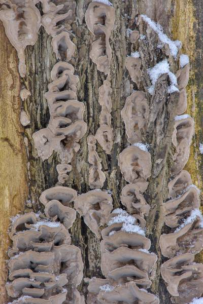 "Smoky polypore mushrooms (<B>Bjerkandera adusta</B>) on a stump in Botanic Gardens of Komarov Botanical Institute. Saint Petersburg, Russia, <A HREF=""../date-en/2017-02-21.htm"">February 21, 2017</A>"