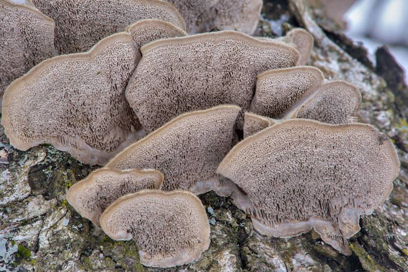 Caps of mossy maze polypore mushrooms (Cerrena unicolor) near Kamenka River in Yuntolovsky Park. Saint Petersburg, Russia, February 23, 2017