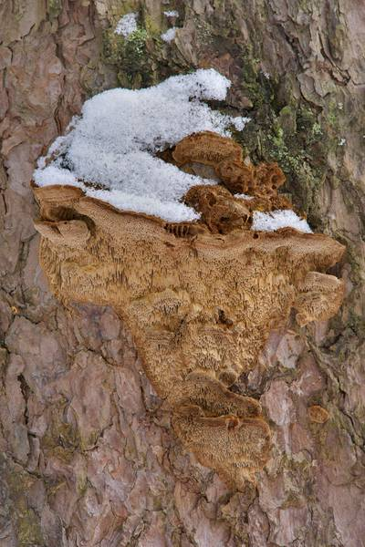 "Shelf-shaped conks of <B>Porodaedalea pini</B> (Phellinus pini) polypore mushrooms on a pine tree in Sosnovka Park. Saint Petersburg, Russia, <A HREF=""../date-ru/2017-02-27.htm"">February 27, 2017</A>"