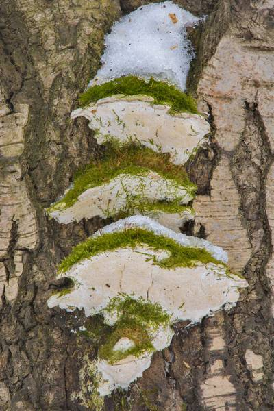 Mossy maple polypore mushrooms (Oxyporus populinus) on a tree in Udelny Park. Saint Petersburg, Russia, February 28, 2017