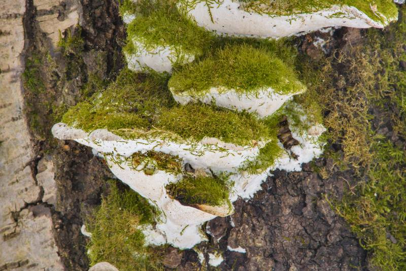 Green moss on a polypore mushrooms Oxyporus populinus on a tree in Udelny Park. Saint Petersburg, Russia, February 28, 2017