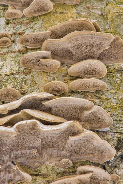 Mossy maze polypore mushrooms (Cerrena unicolor) in Udelny Park. Saint Petersburg, Russia, February 28, 2017