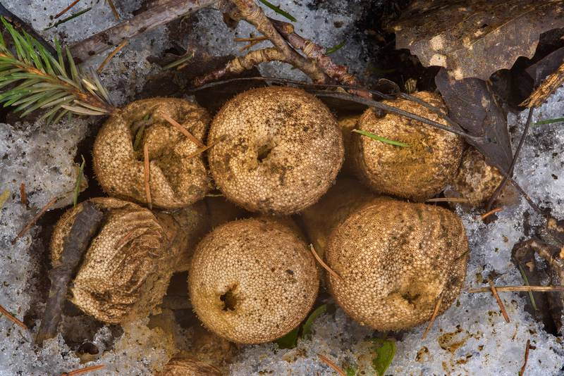 Old spiked puffball mushrooms (Lycoperdon perlatum) near northern road in Yuntolovsky Park. Saint Petersburg, Russia, March 1, 2017