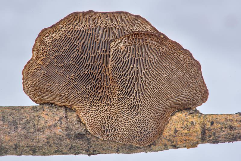 "Pores of thin-walled maze polypore mushroom (Blushing Bracket, <B>Daedaleopsis confragosa</B>) on a dry branch of willow near northern road in Yuntolovsky Park. Saint Petersburg, Russia, <A HREF=""../date-en/2017-03-01.htm"">March 1, 2017</A>"