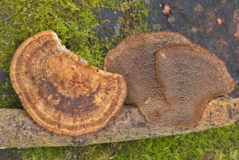 Thin-walled maze polypore mushroom (Blushing Bracket, Daedaleopsis confragosa) near northern road in Yuntolovsky Park. Saint Petersburg, Russia, March 1, 2017