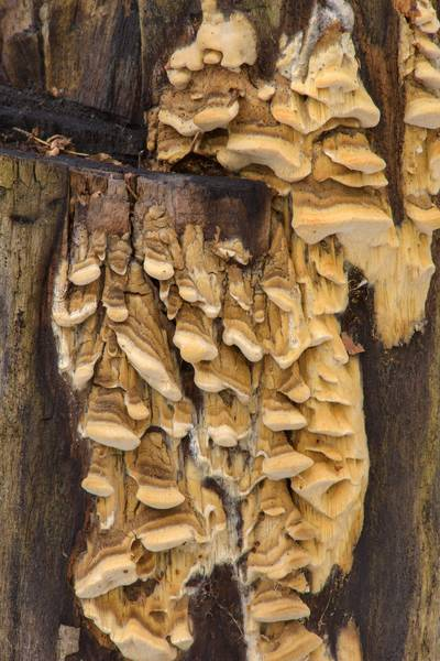 Stalactite structure (pseudopilei) of a tinder mushroom Antrodia pulvinascens on a tree stump near northern road in Yuntolovsky Park. Saint Petersburg, Russia, March 1, 2017