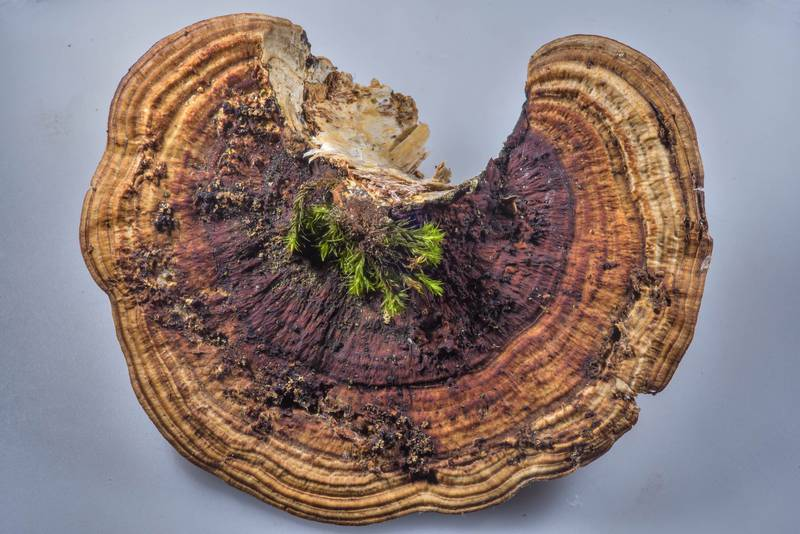 "Zones on a cap of thin-walled maze polypore mushroom (Blushing Bracket, <B>Daedaleopsis confragosa</B>) taken from Yuntolovsky Park. Saint Petersburg, Russia, <A HREF=""../date-en/2017-03-01.htm"">March 1, 2017</A>"