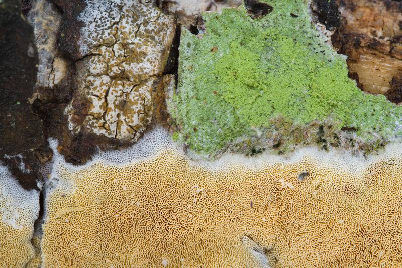Mapledust lichen, Lecanora thysanophora (green cover) and a fungus Skeletocutis papyracea (light-brown) on lower side of a fallen conifer tree in area of Dibuny - Pesochny near Saint Petersburg. Russia, March 4, 2017