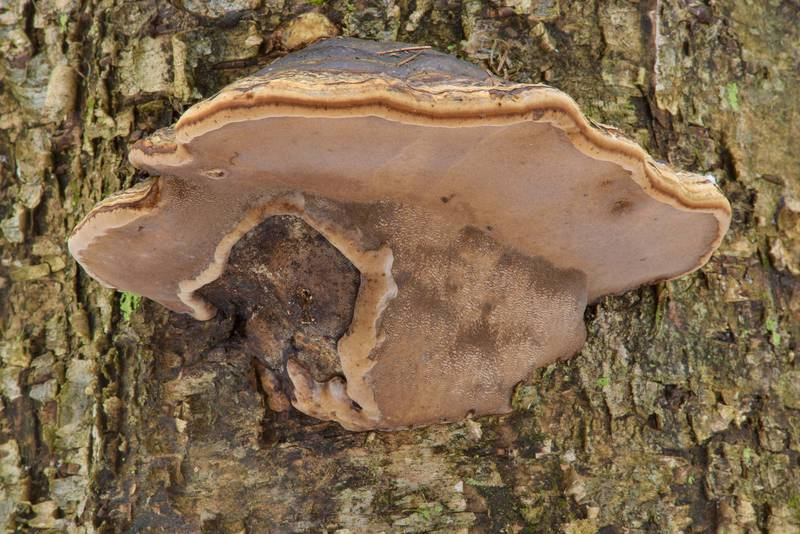 "Tinder conk mushroom (polypore fungus <B>Fomes fomentarius</B>) on a birch in area of Dibuny - Pesochny near Saint Petersburg. Russia, <A HREF=""../date-ru/2017-03-04.htm"">March 4, 2017</A>"