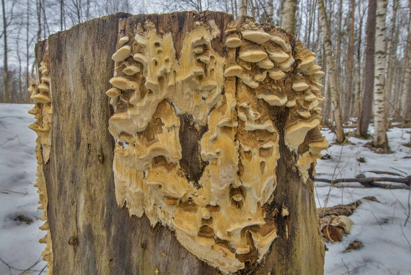Tinder mushrooms Antrodia pulvinascens forming stalactite like structure called pseudopilei on a stump in northern part of Yuntolovsky Park. Saint Petersburg, Russia, March 9, 2017