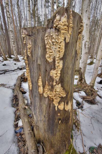 A stump with tinder mushrooms Antrodia pulvinascens in northern part of Yuntolovsky Park. Saint Petersburg, Russia, March 9, 2017