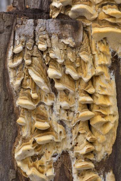 Stalactite incrustation (pseudopilei) of a tree stump by a rare tinder mushroom Antrodia pulvinascens in northern part of Yuntolovsky Park. Saint Petersburg, Russia, March 9, 2017